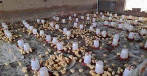 chicks brooding