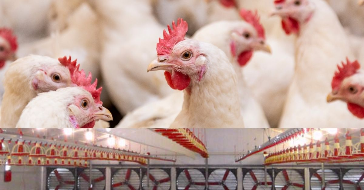 Air management in poultry